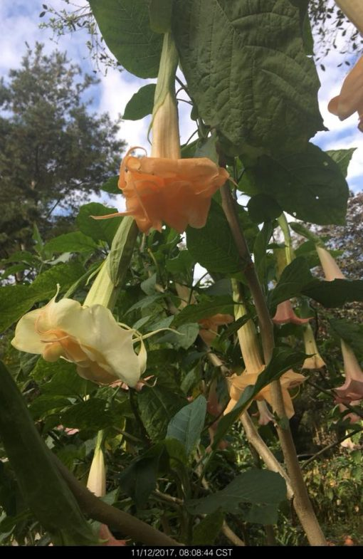Brugmansia New Orleans Lady Angel Trumpet