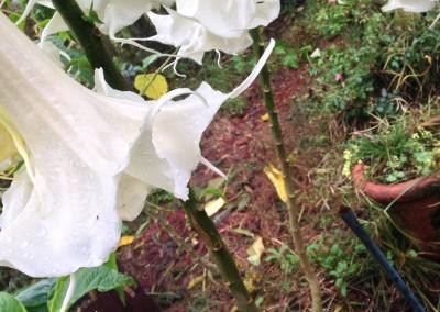 Brugmansia Sweet Fantasie 17