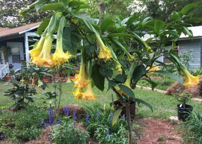 Brugmansia Wuppergold