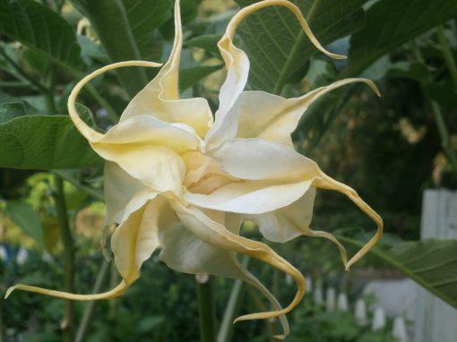 Brugmansia Magnifique